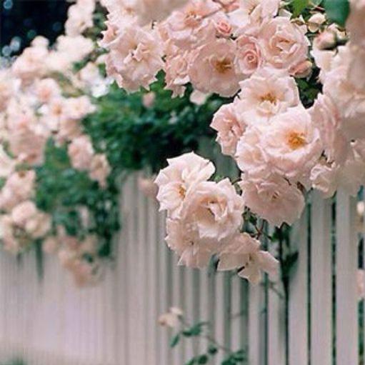 qiangwei蔷薇1