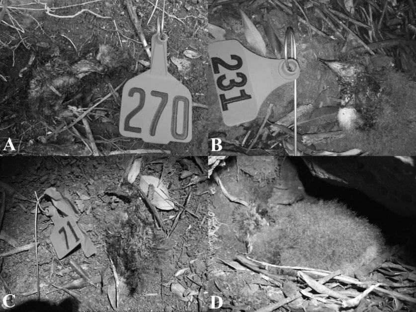 「菲利浦岛蜈蚣」成幼鸟杀手!——在澳洲孤岛上默默担当顶级掠食者插图2
