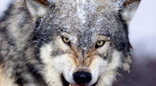 随便聊聊狼的智慧的图片 第1张
