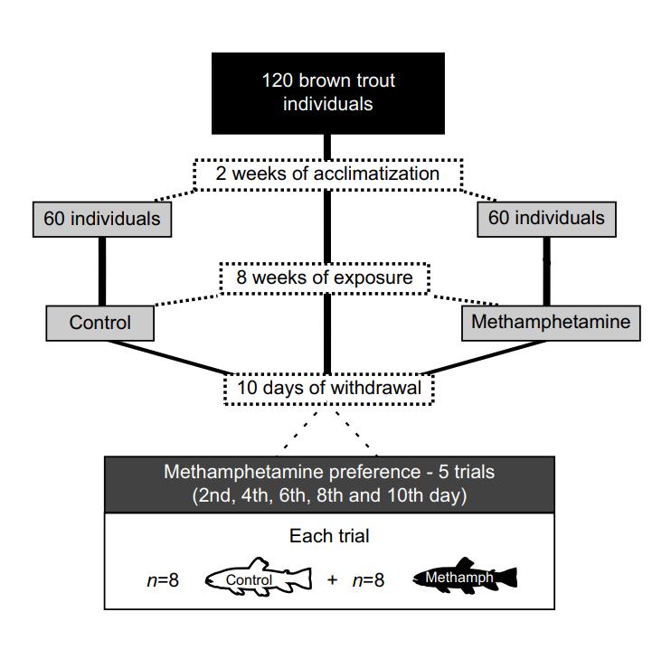 鱼鱼也会吸毒成瘾!?药毒物对褐鳟鱼的影响插图(2)