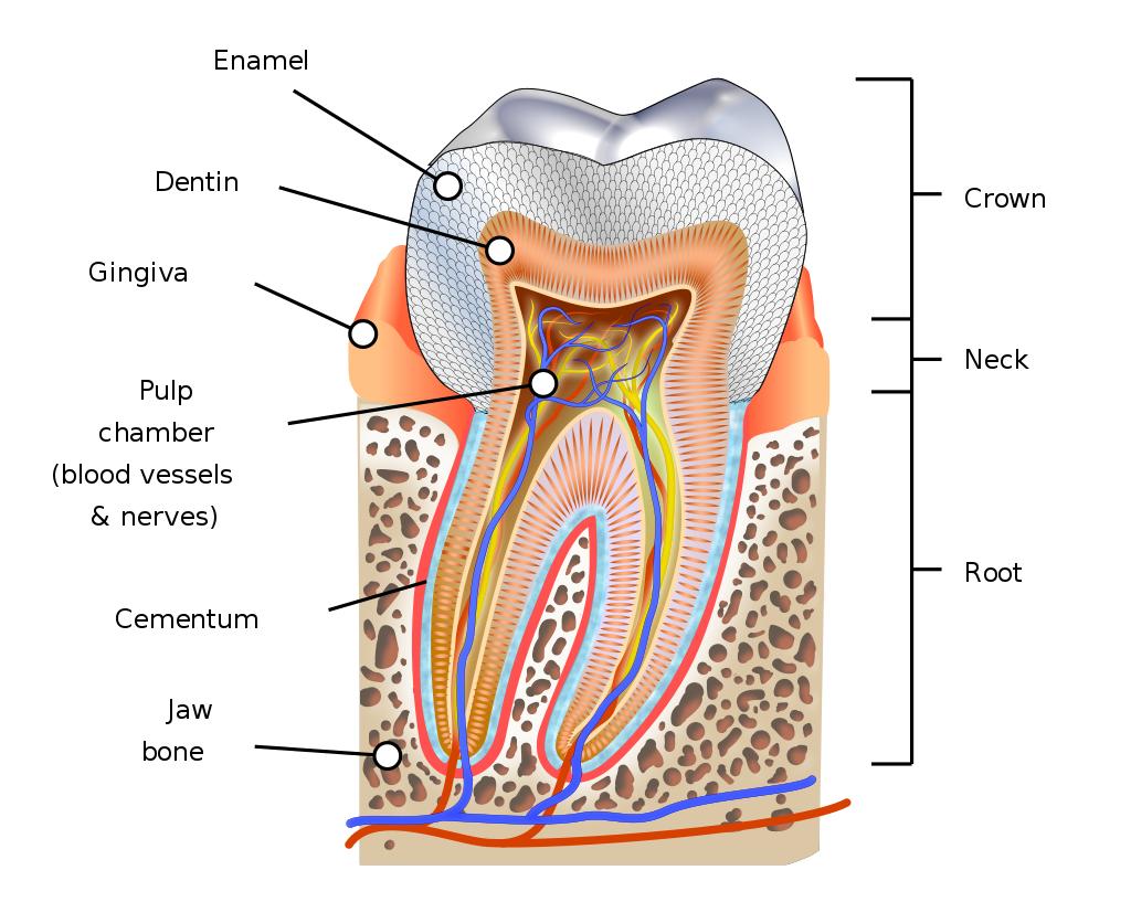 蛀牙的新救星?「以牙还牙」的仿生技术让自行牙齿重生!插图