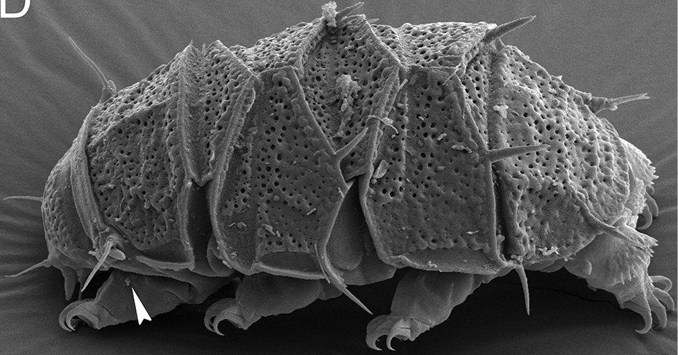 """看过""""水熊虫""""走路吗? ——它的步态与 50 万倍大的昆虫很相似!插图2"""