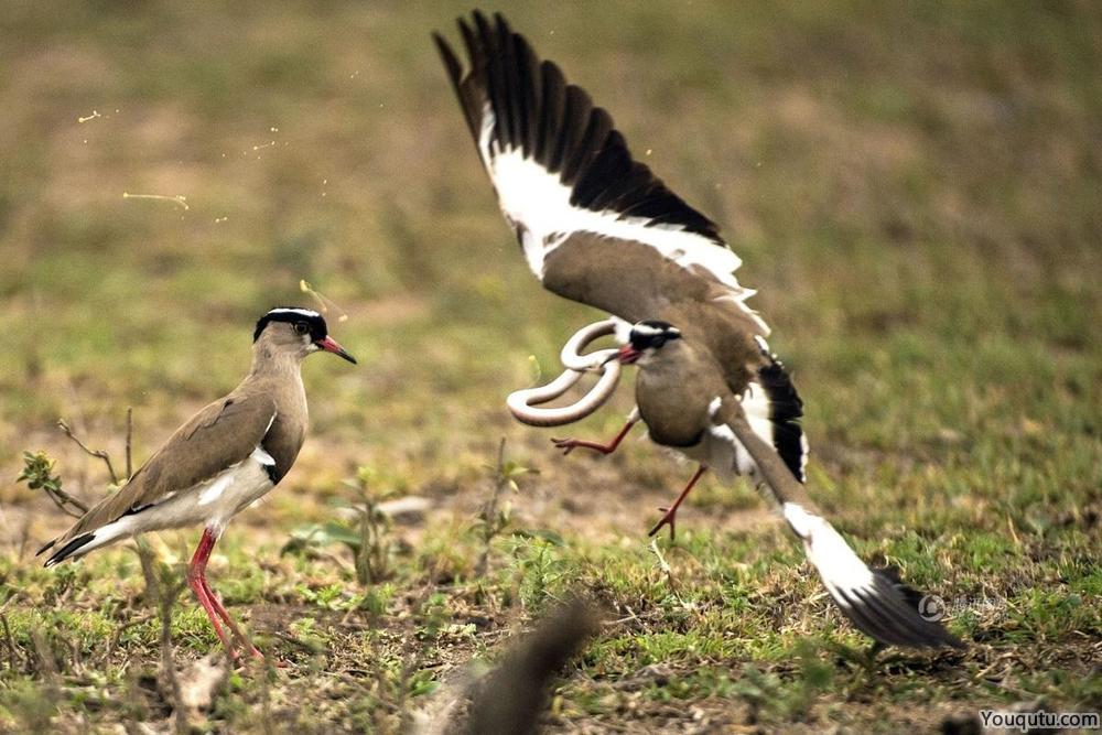 南非公园鸟妈妈为保护鸟蛋 与蛇搏斗[6P]