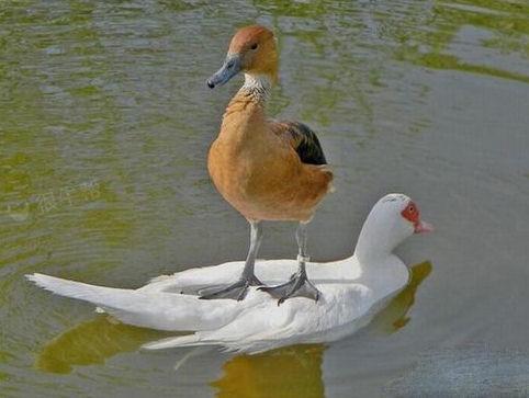 连鸭子都有自己的坐骑了~