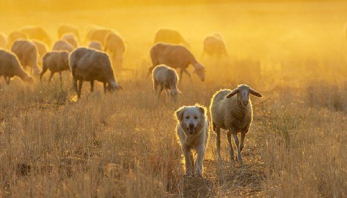 sheep-6554180__480