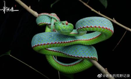 蛇snake今日份的竹叶青~盈江竹叶青