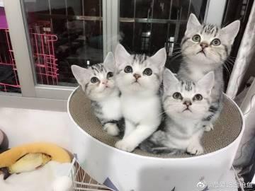 萌宠图片昨日神仙颜值猫咪大赛前三甲!-萌宠