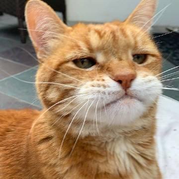 萌宠图片一只忧郁的橘猫Marley-萌宠