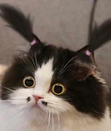 自带腮黑的猫咪