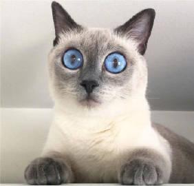 萌宠图片大眼睛蓝瞳孔暹罗猫 #撸猫#-萌宠