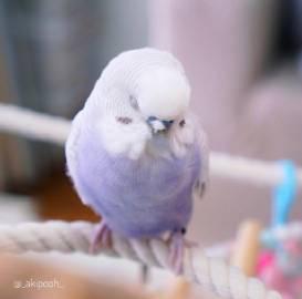 萌宠图片超萌的香芋味鹦鹉。-萌宠